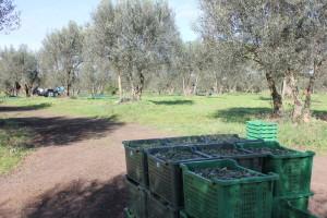 Olivicoltura agricoltura